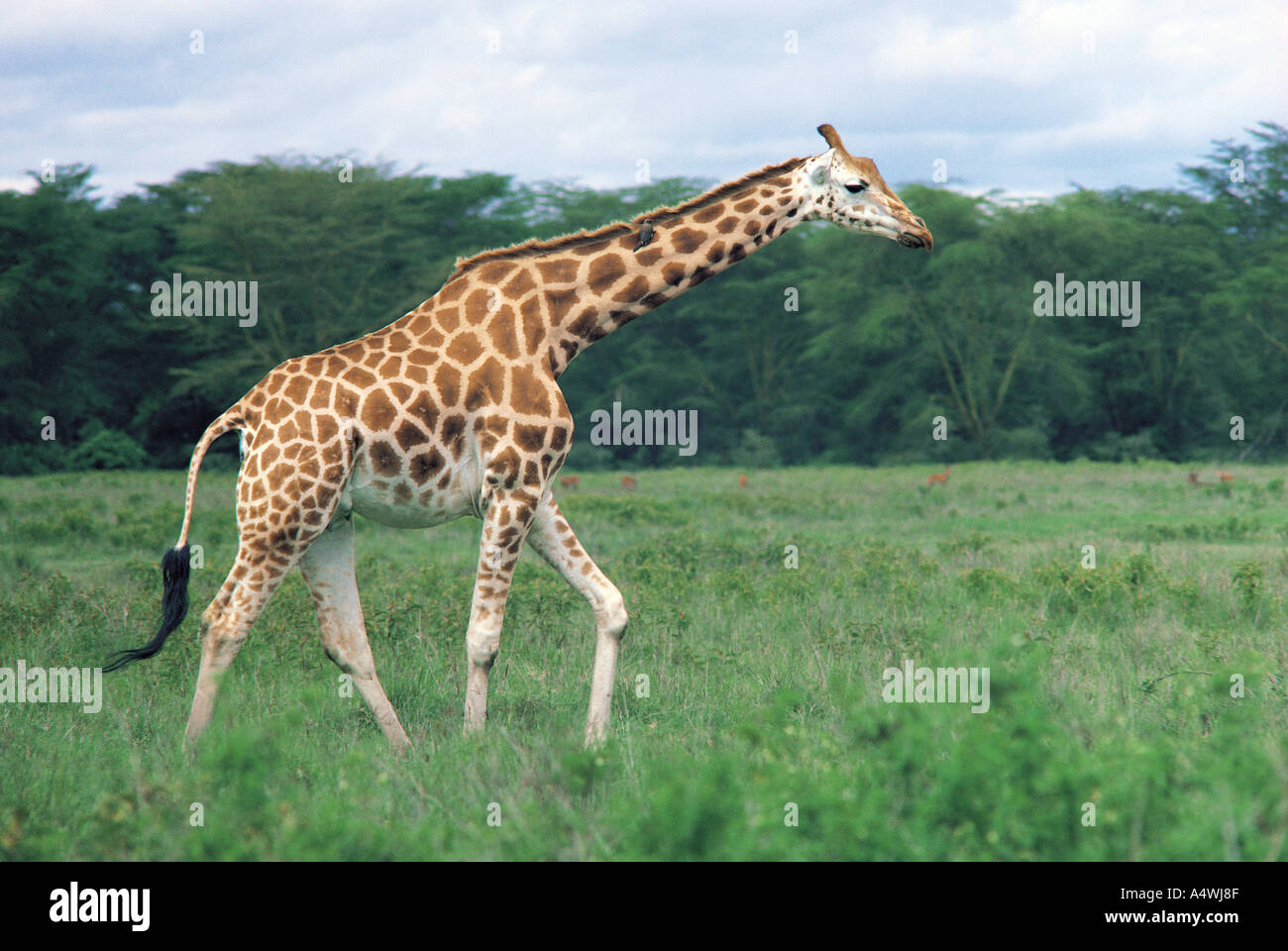 Rothschild s Giraffes in Lake Nakuru National Park Kenya East Africa - Stock Image