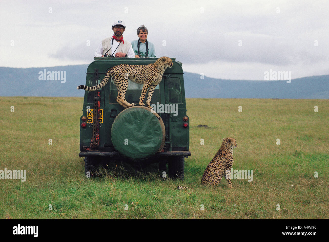 Habituated wild female cheetah standing on spare wheel of Land Rover in the Masai Mara National Reserve Kenya East Africa - Stock Image