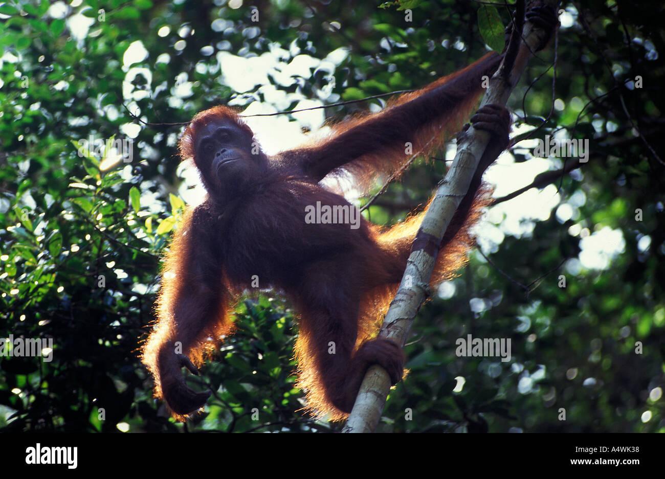 Wild orangutan, Pongo pygmaeus, in Gunung Palung National Park Kalimantan Indonesia - Stock Image