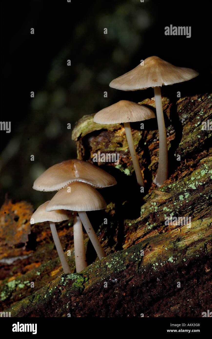 portrait of a fungi troop growing on rotten silver birch wood grantown on spey highlands scotland Stock Photo