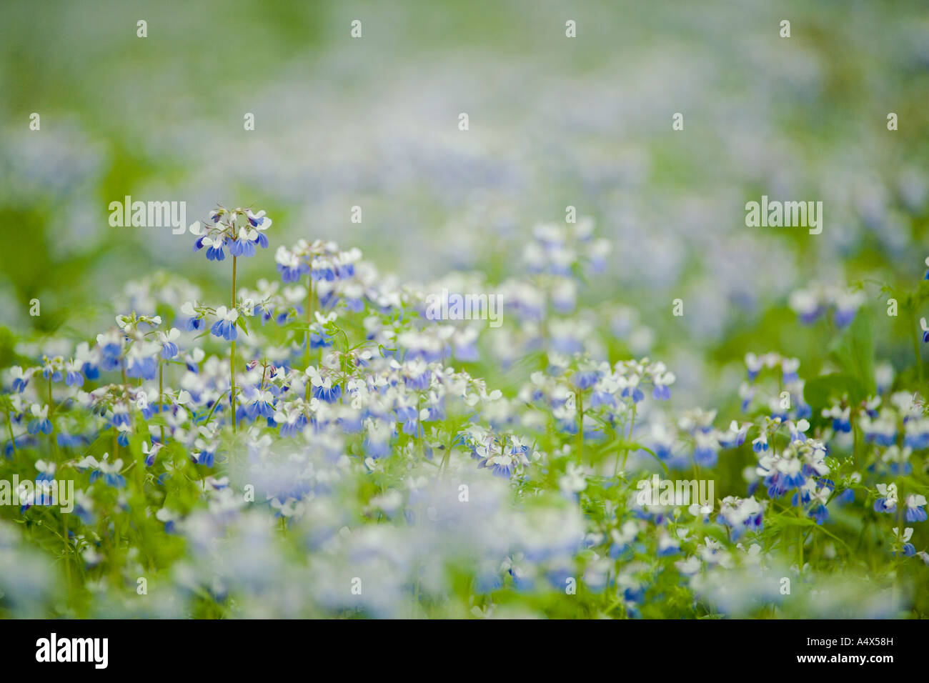 Blue Eyed Mary wildflowers cover the forest floor at Giant City State Park Illinois Stock Photo
