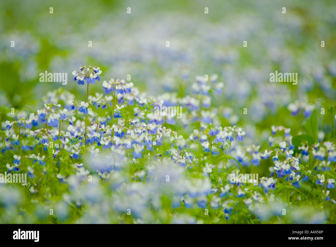 Blue Eyed Mary wildflowers cover the forest floor at Giant City State Park Illinois - Stock Image