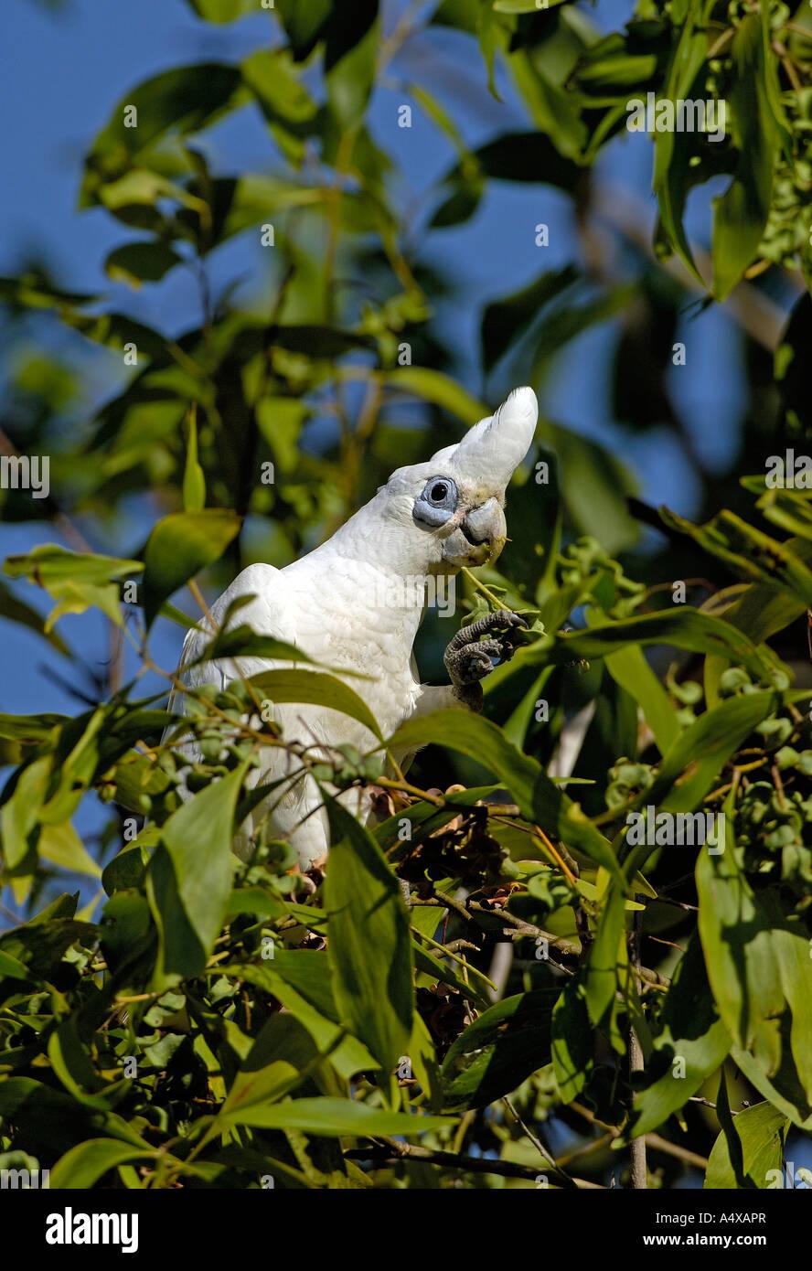 Little corella, Cacatua sanguinea, Northern territory australia - Stock Image