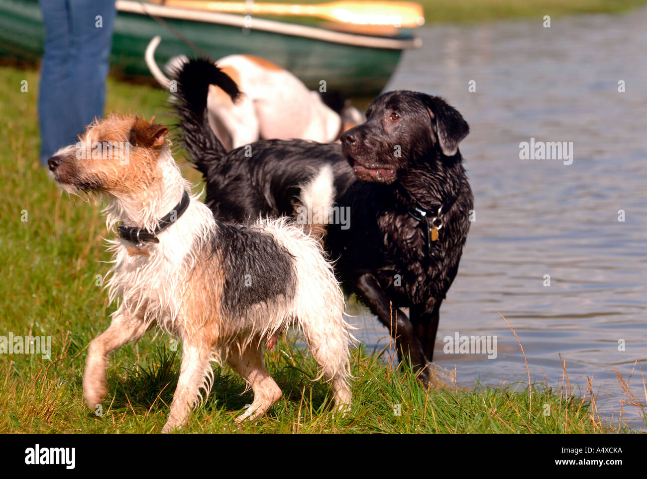 TWO DOGS PLAYING ON THE SHORES OF A LAKE UK - Stock Image