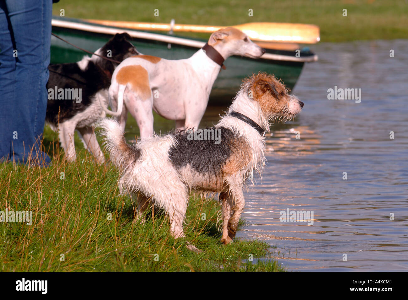 THREE DOGS PLAYING ON THE SHORES OF A LAKE UK - Stock Image