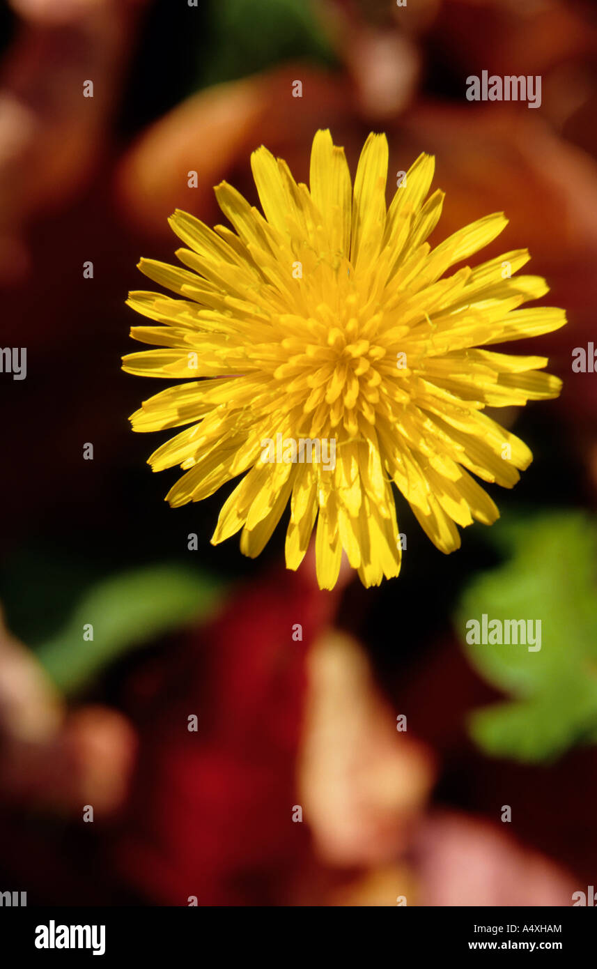 Yellow dandelion flower - close up macro detail - Stock Image