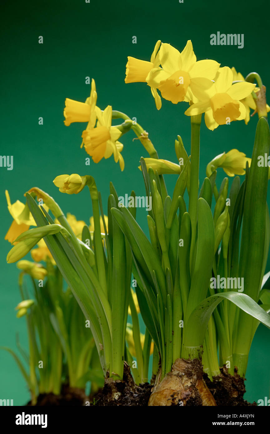 Yellow blossomed Lent lillys with bulb - Stock Image