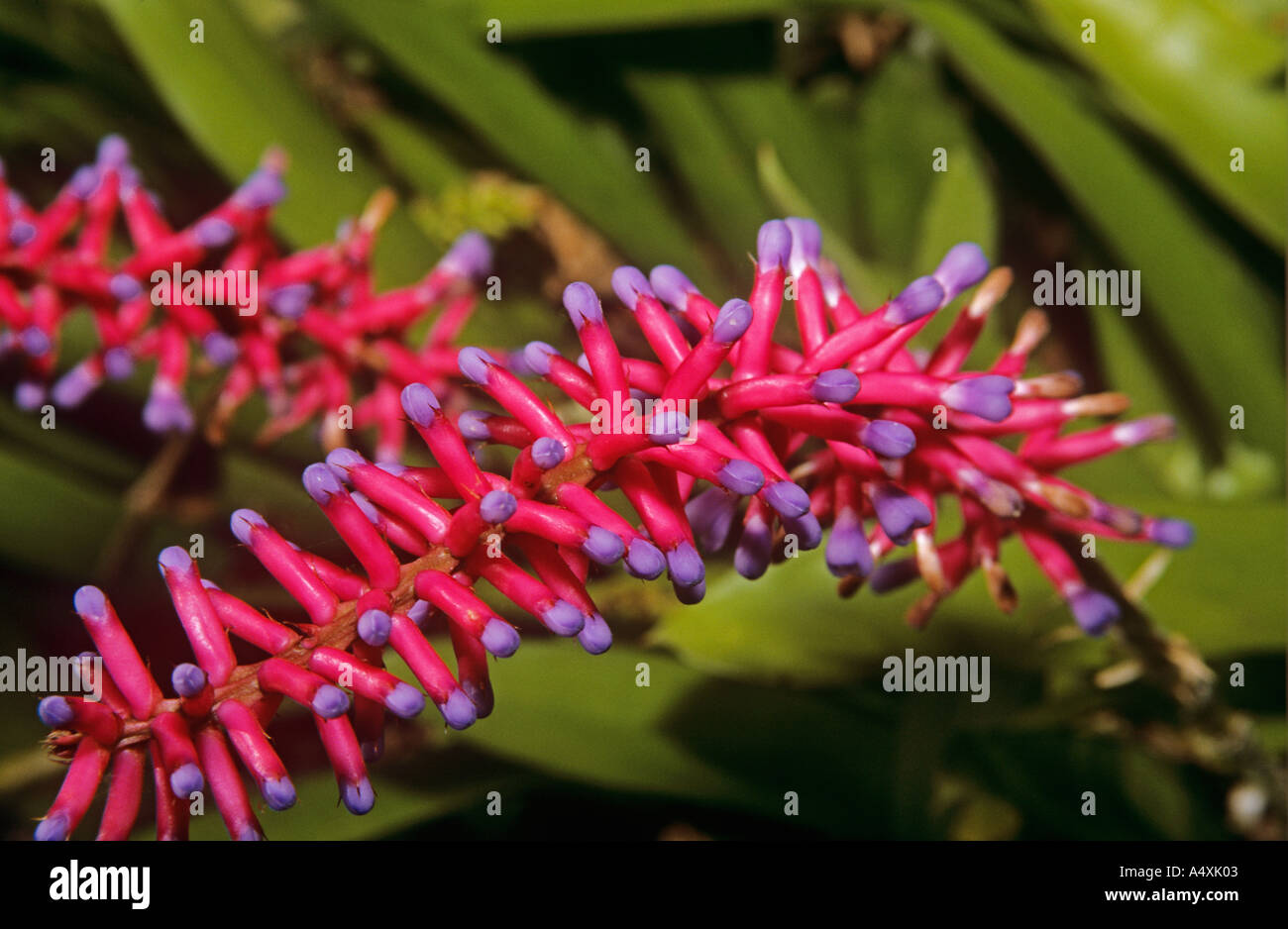 A red Australian exotic flower - Stock Image