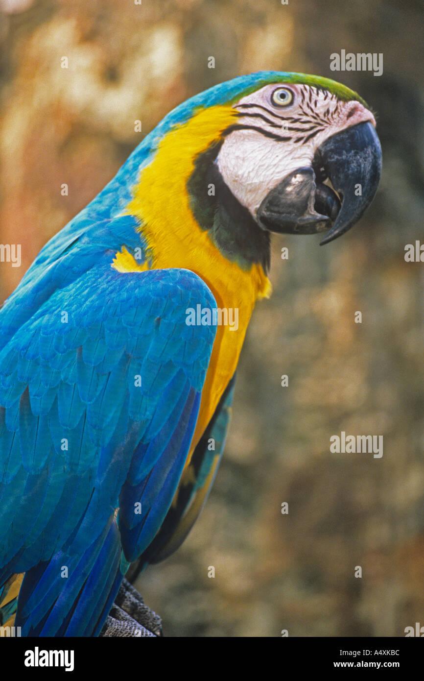 Blue Yellow Macaw Ara Ararauna Australian Parrot Stock Photo Alamy
