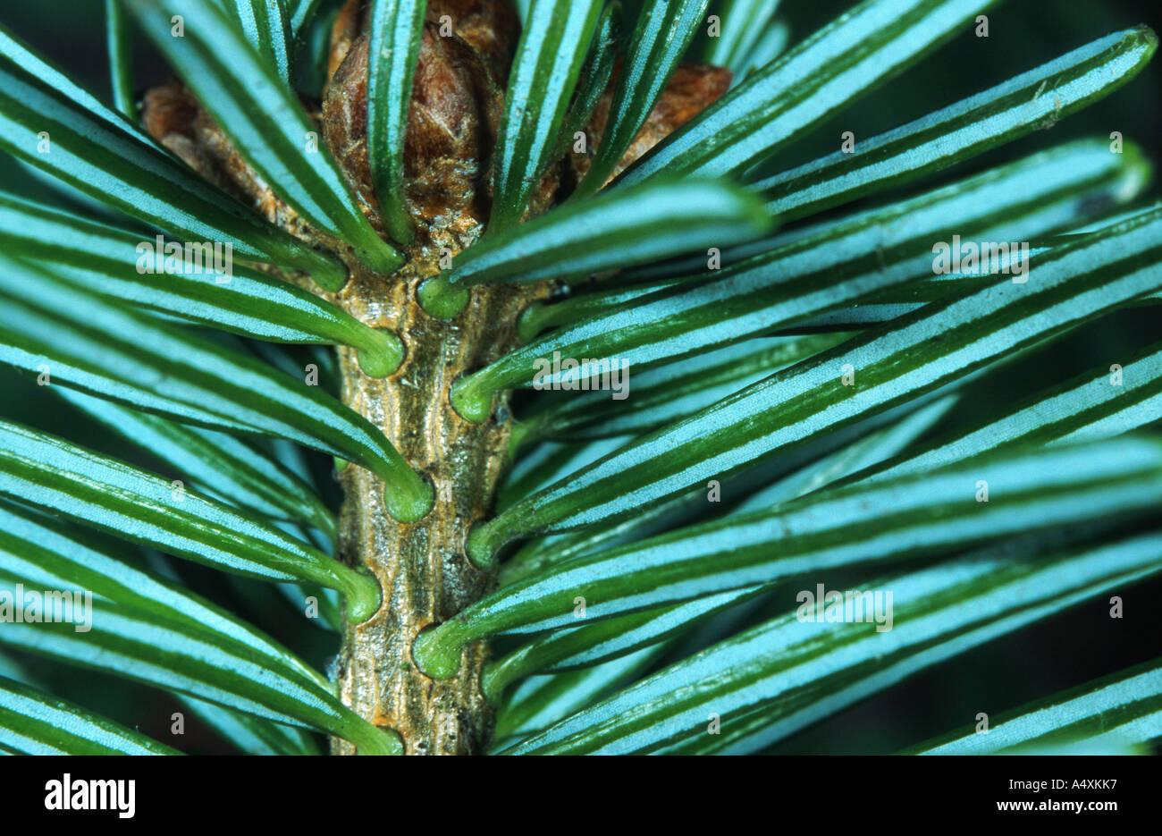 Nordman fir (Abies nordmanniana), underside of the leaves - Stock Image