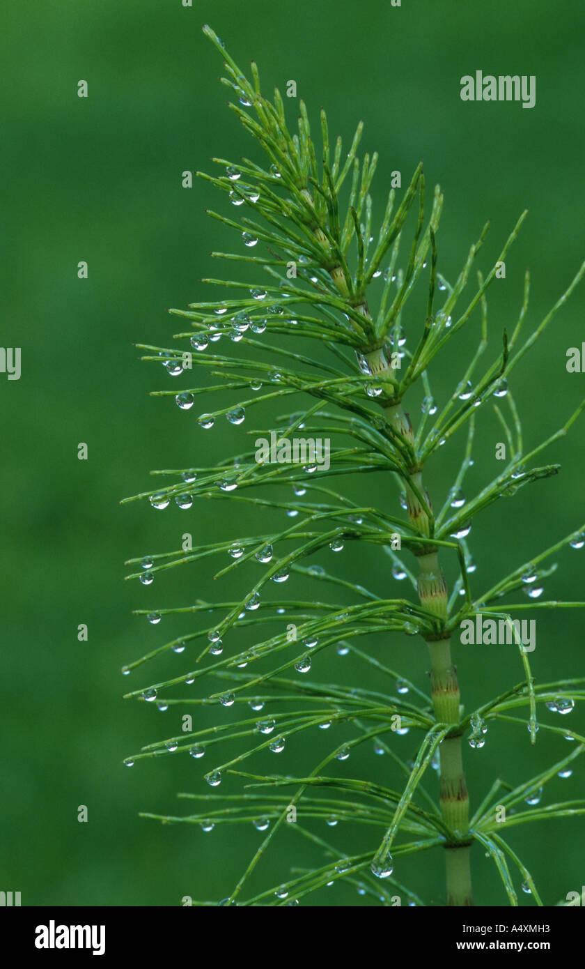 sylvan horsetail, wood horsetail, woodland horsetail (Equisetum sylvaticum), with rain drops, Germany, North Rhine-Westphalia, - Stock Image