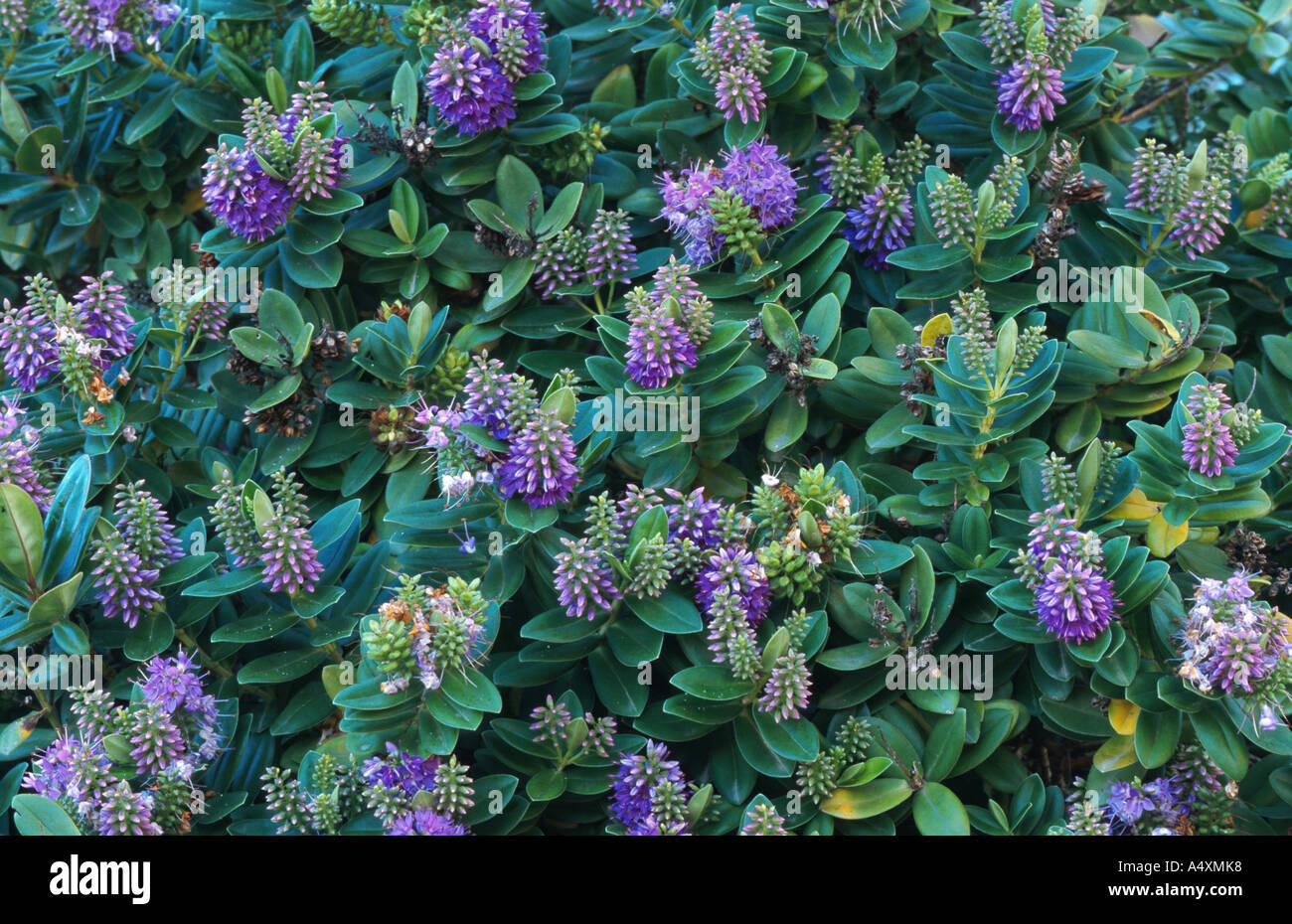 veronica (Hebe x andersonii), several plants seen from above Stock ...