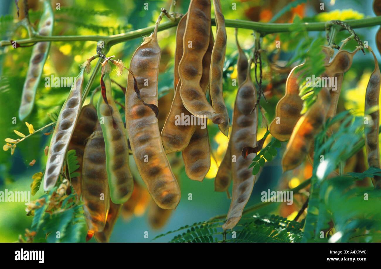 Acacia Fruit Stock Photos Acacia Fruit Stock Images Alamy