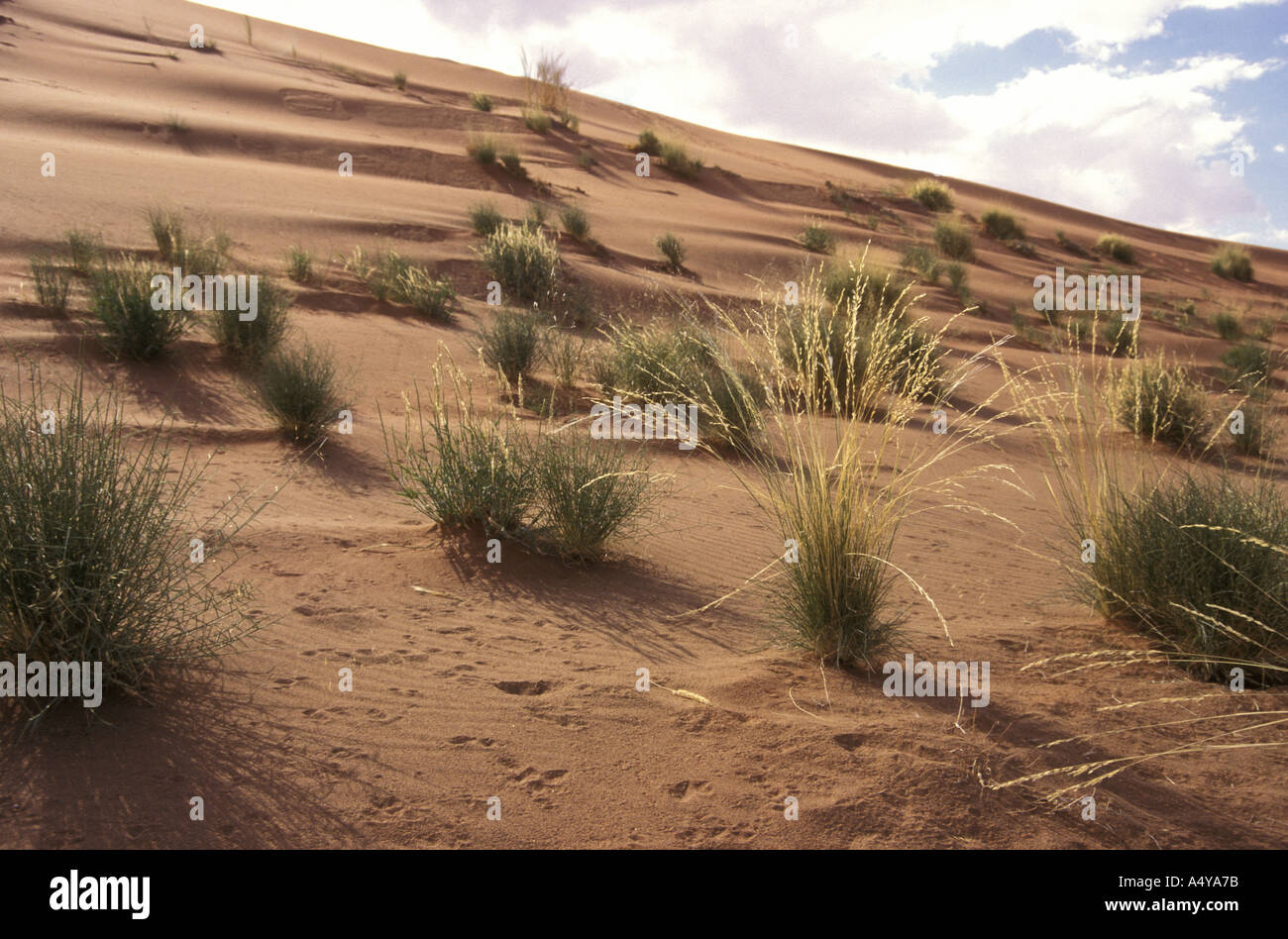 Desert grasses growing on a sand dune in the Namib Naukluft National Park Namibia in south west Africa - Stock Image