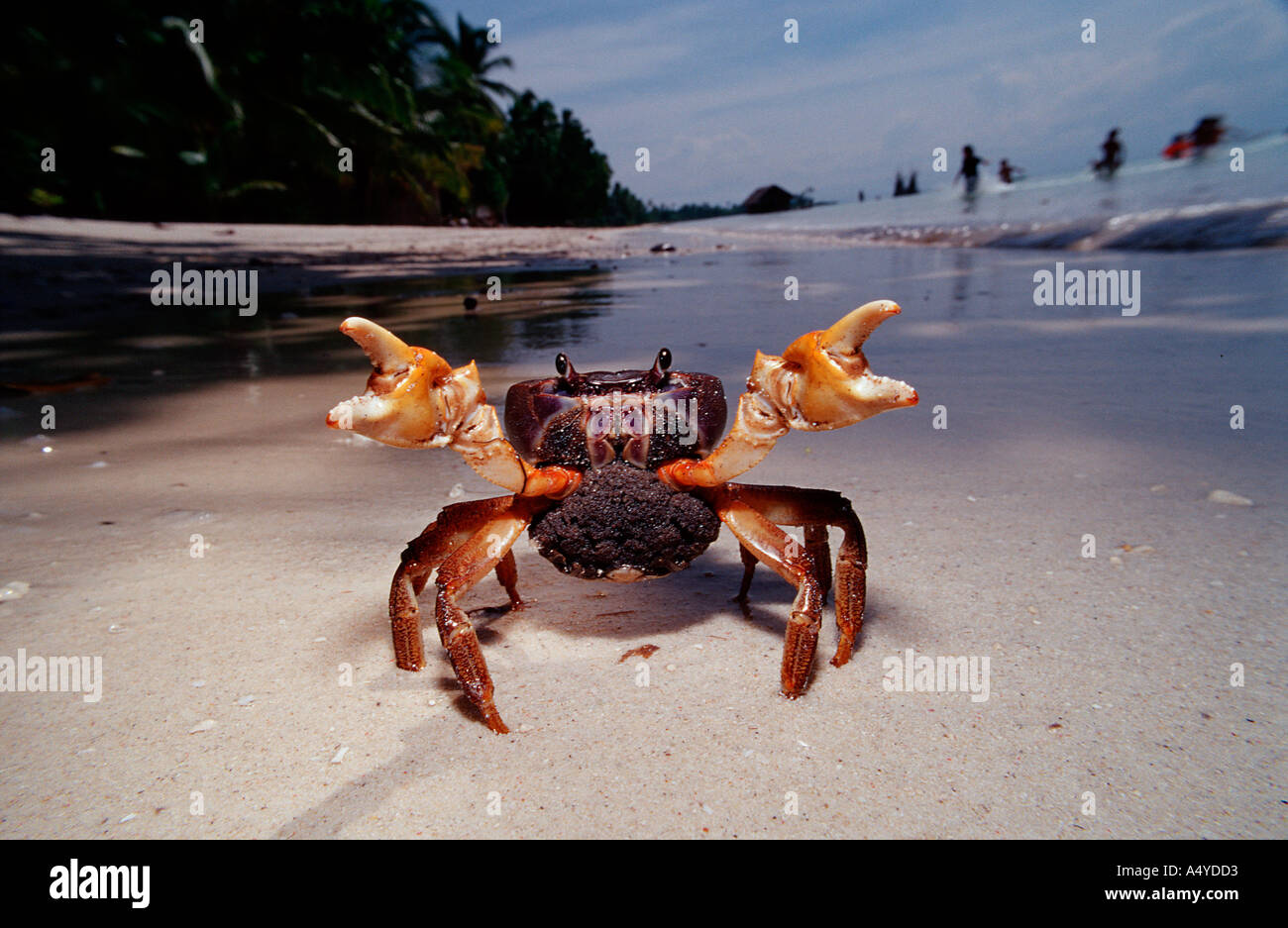 Sparring female crab with eggs Gecarcinidae Philippines Bohol - Stock Image
