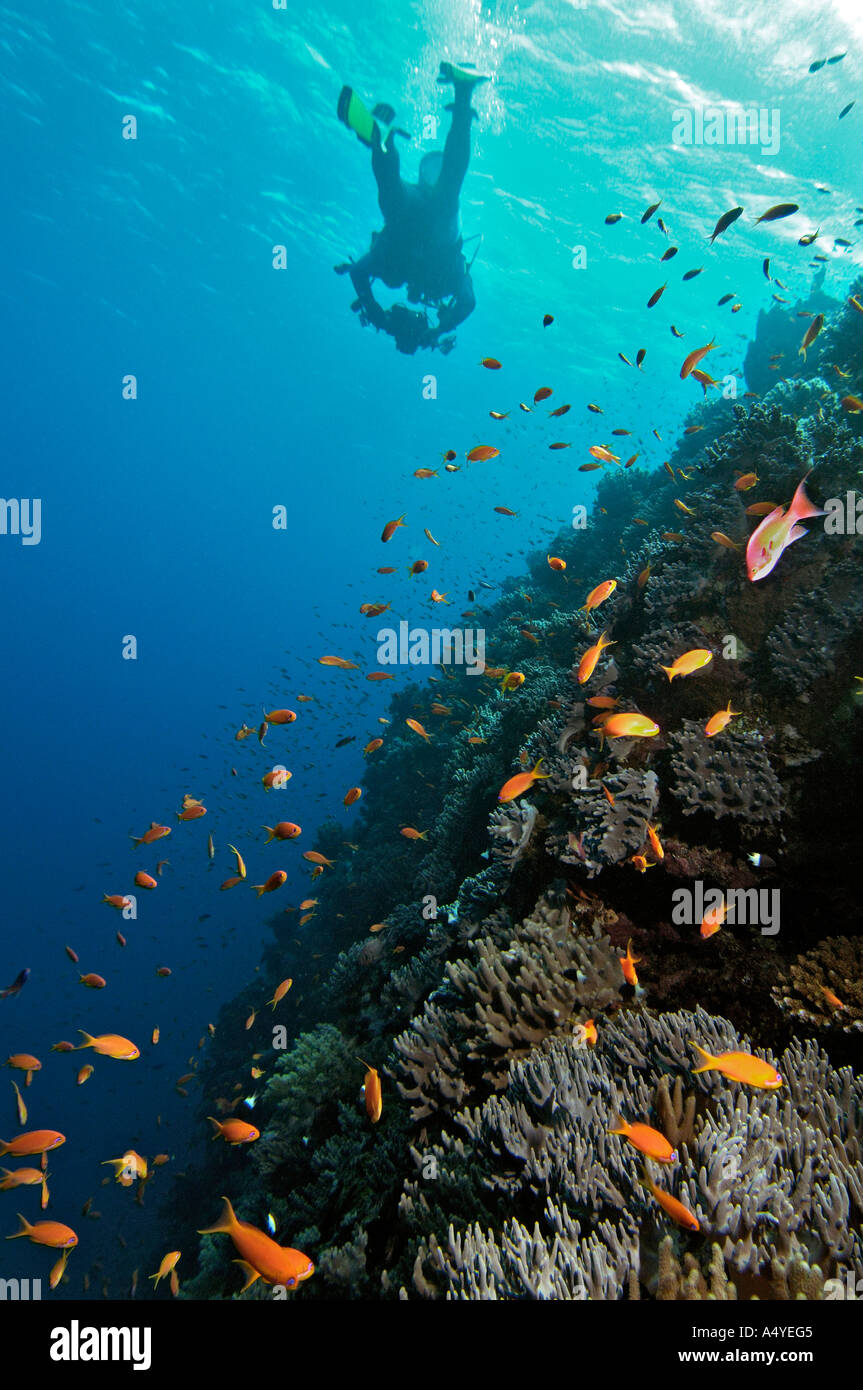 Middle East Egypt Red Sea, Basslets, Anthiinae - Stock Image
