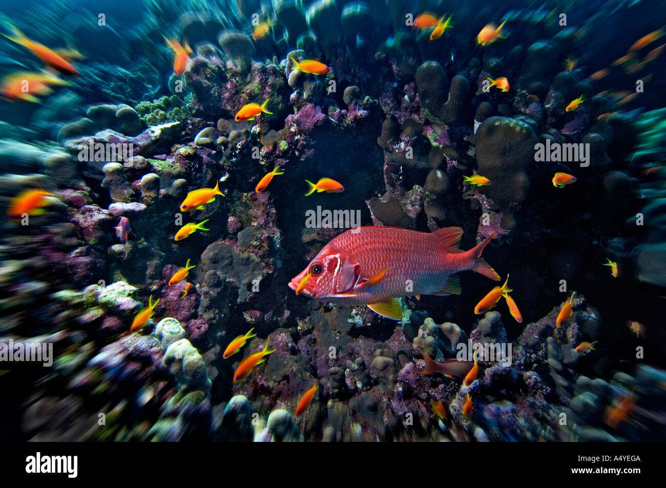 Middle East Egypt Red Sea, Basslets Anthiinae and Long jawed Squirrelfish, Sargocentron spiniferum - Stock Image