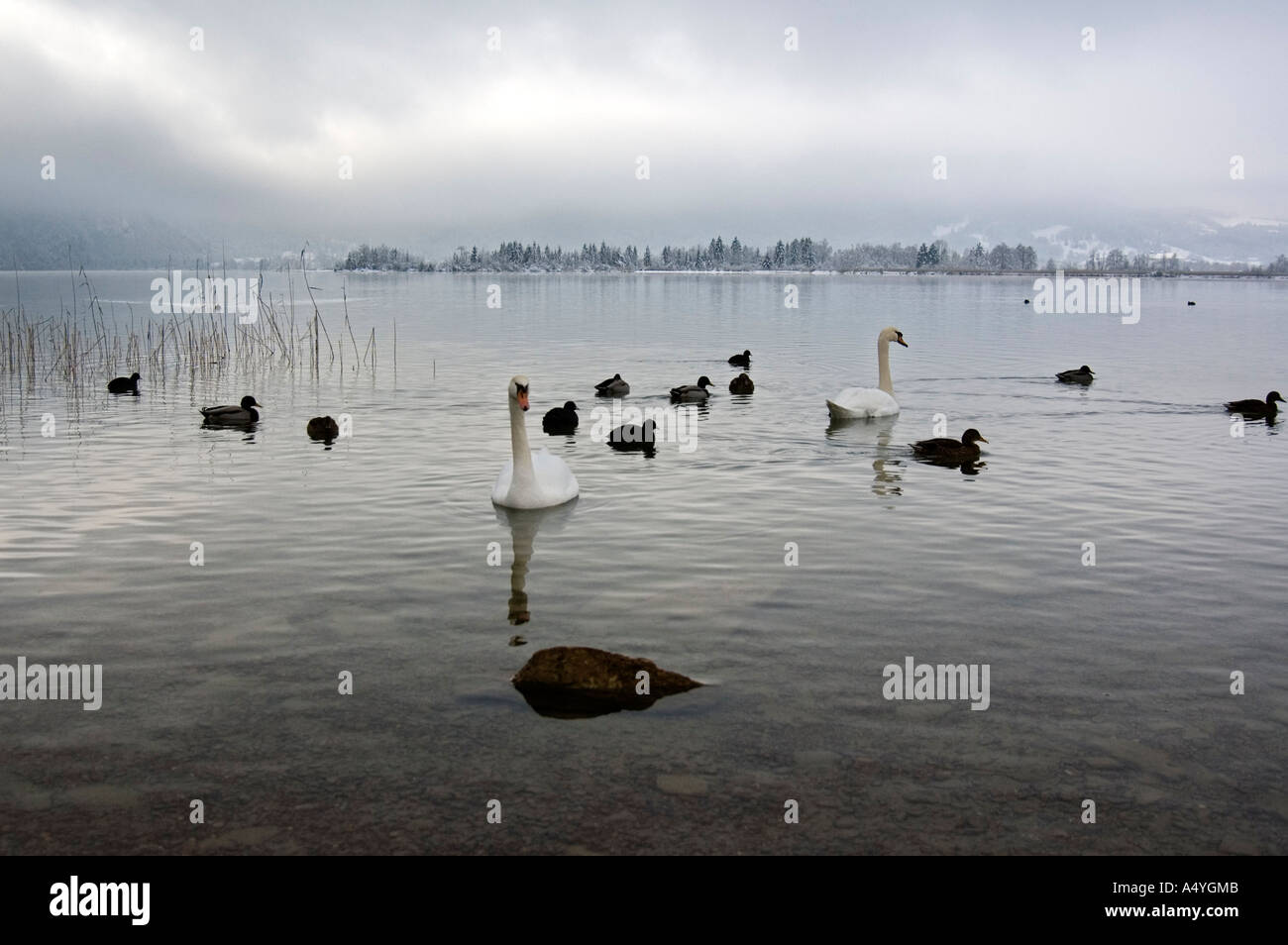 Waterbirds on the Kochelsee in winter, Bavaria, Germany - Stock Image