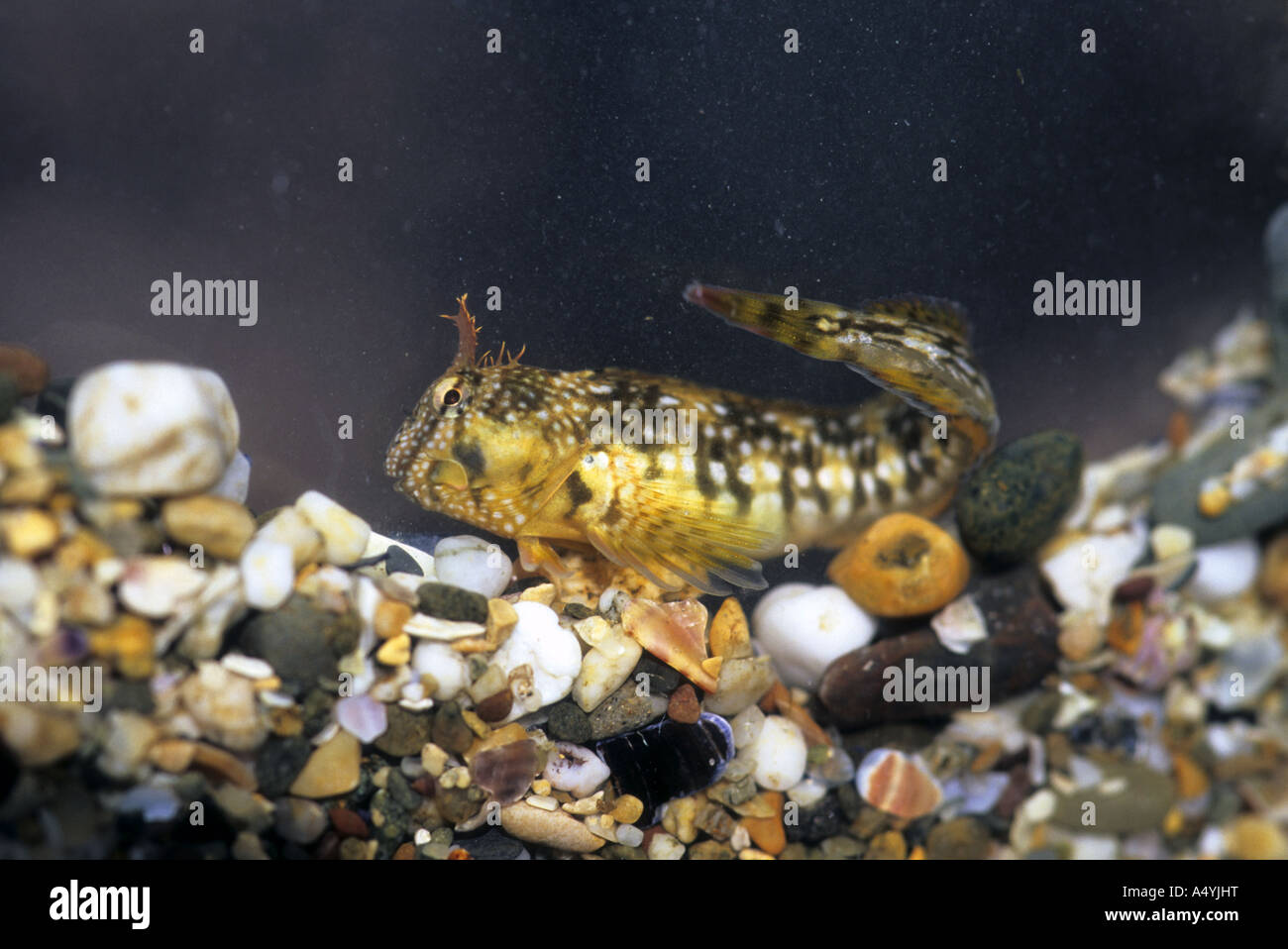 Montagu s blenny Coryphoblennius galerita photographed in a small tank - Stock Image