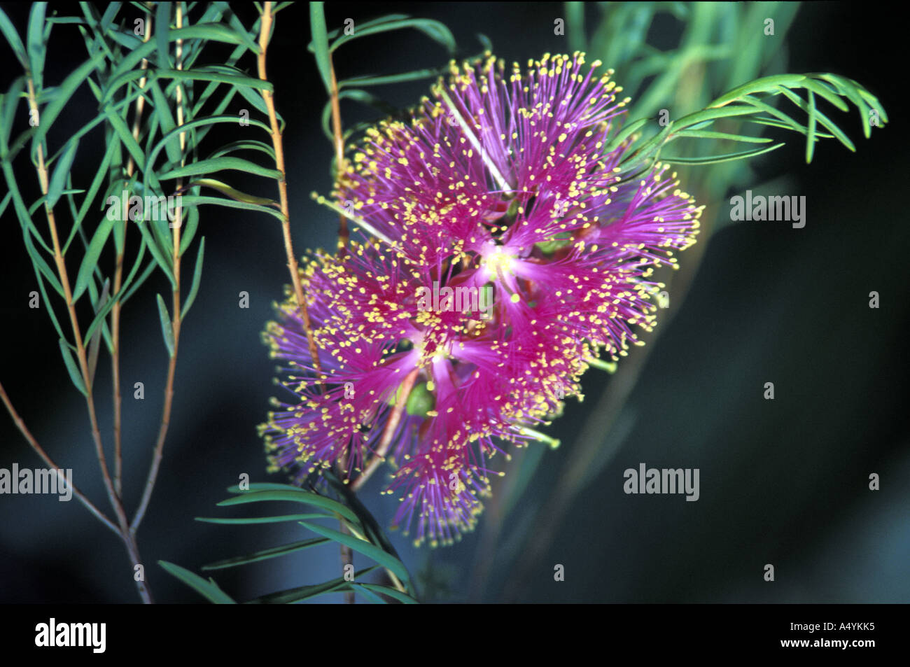 Blossom many strings - Stock Image