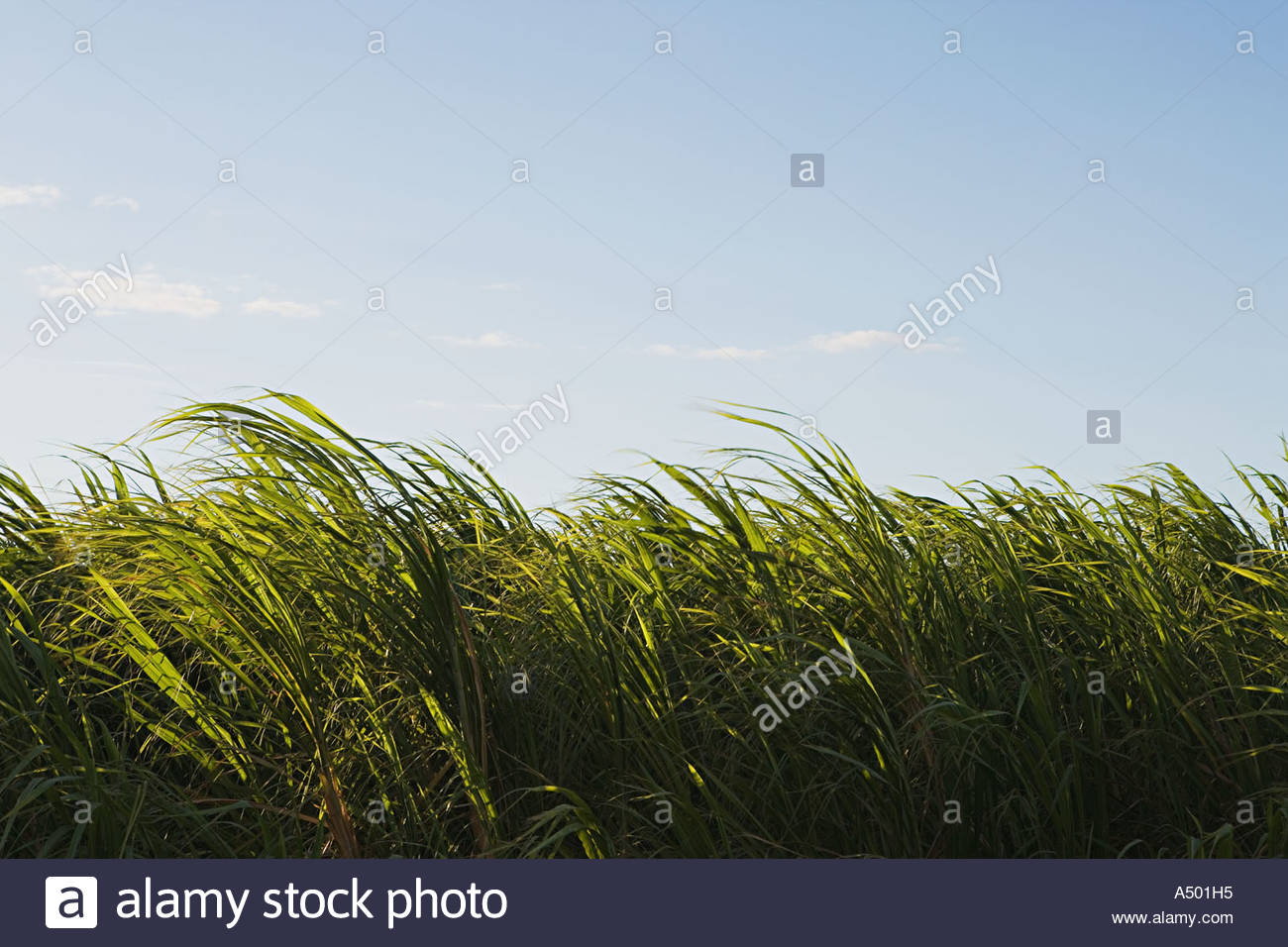 Grass in a breeze - Stock Image