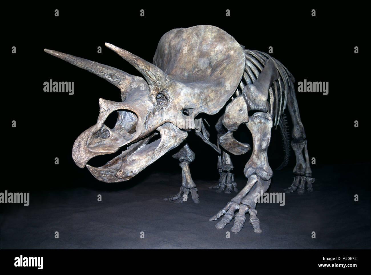 Triceratops Prehistoric Dinosaur Bones Skeleton Royal Tyrell Museum Alberta Canada - Stock Image