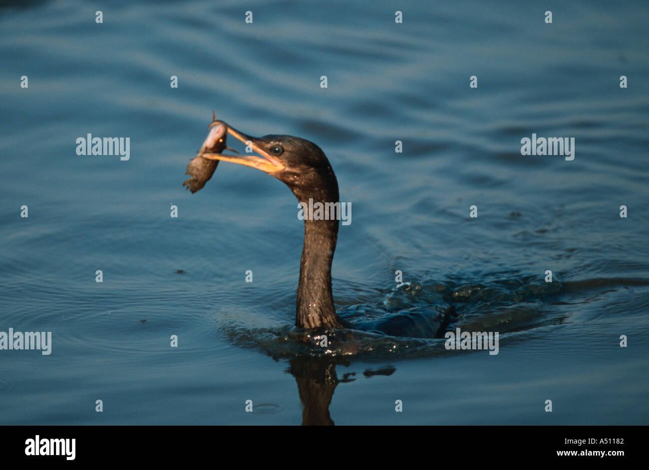 Neotropic Olivaceous cormorant Phalacrocorax olivaceus Biguá Northern Pantanal Brazil - Stock Image