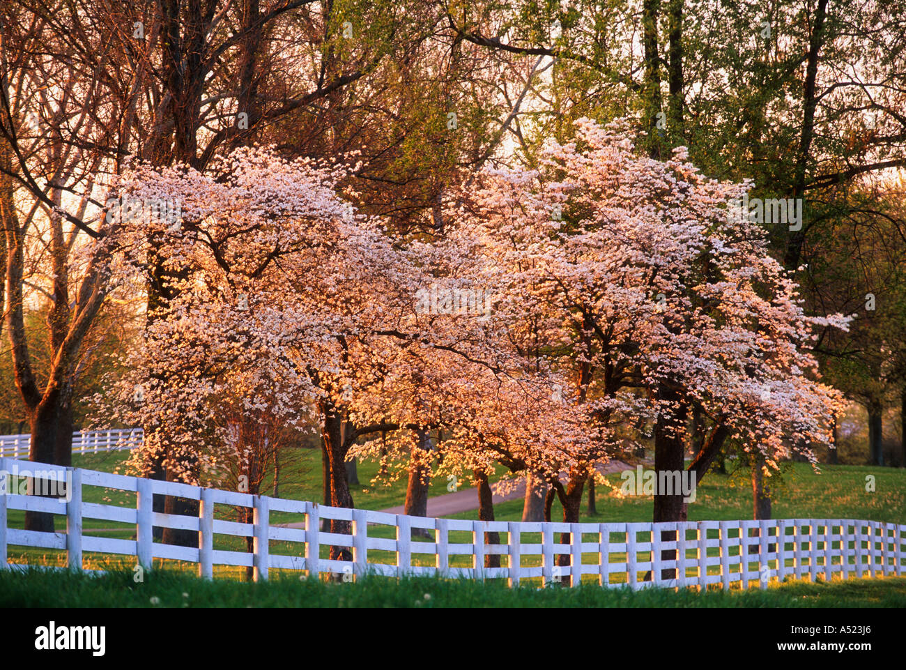 Flowering Pink Dogwood Trees And White Board Fence In The Spring