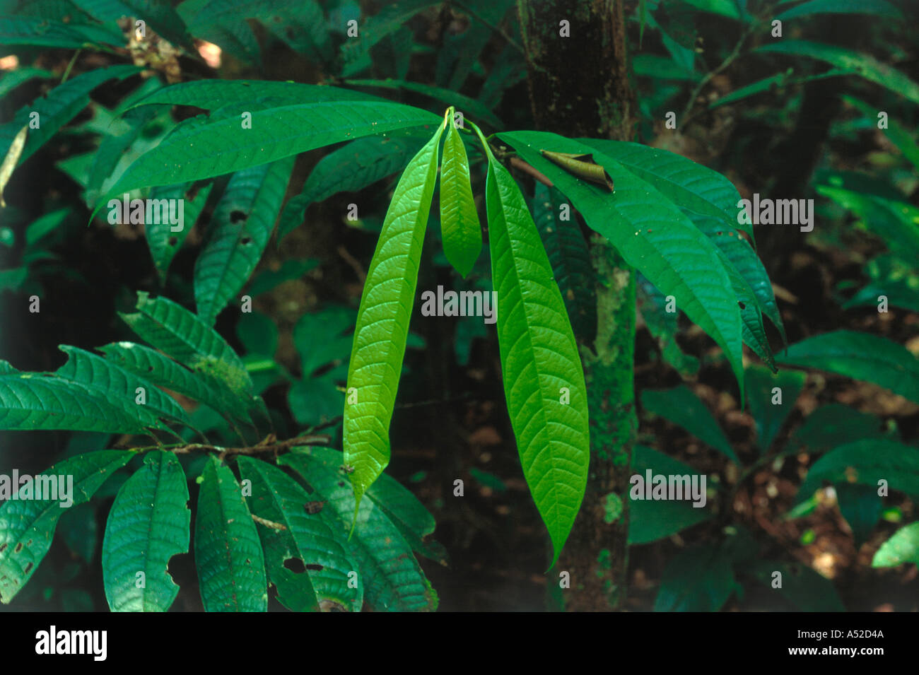 Hanging bright green young leaves in undergrowth of tropical rainforest Amazon region Peru - Stock Image