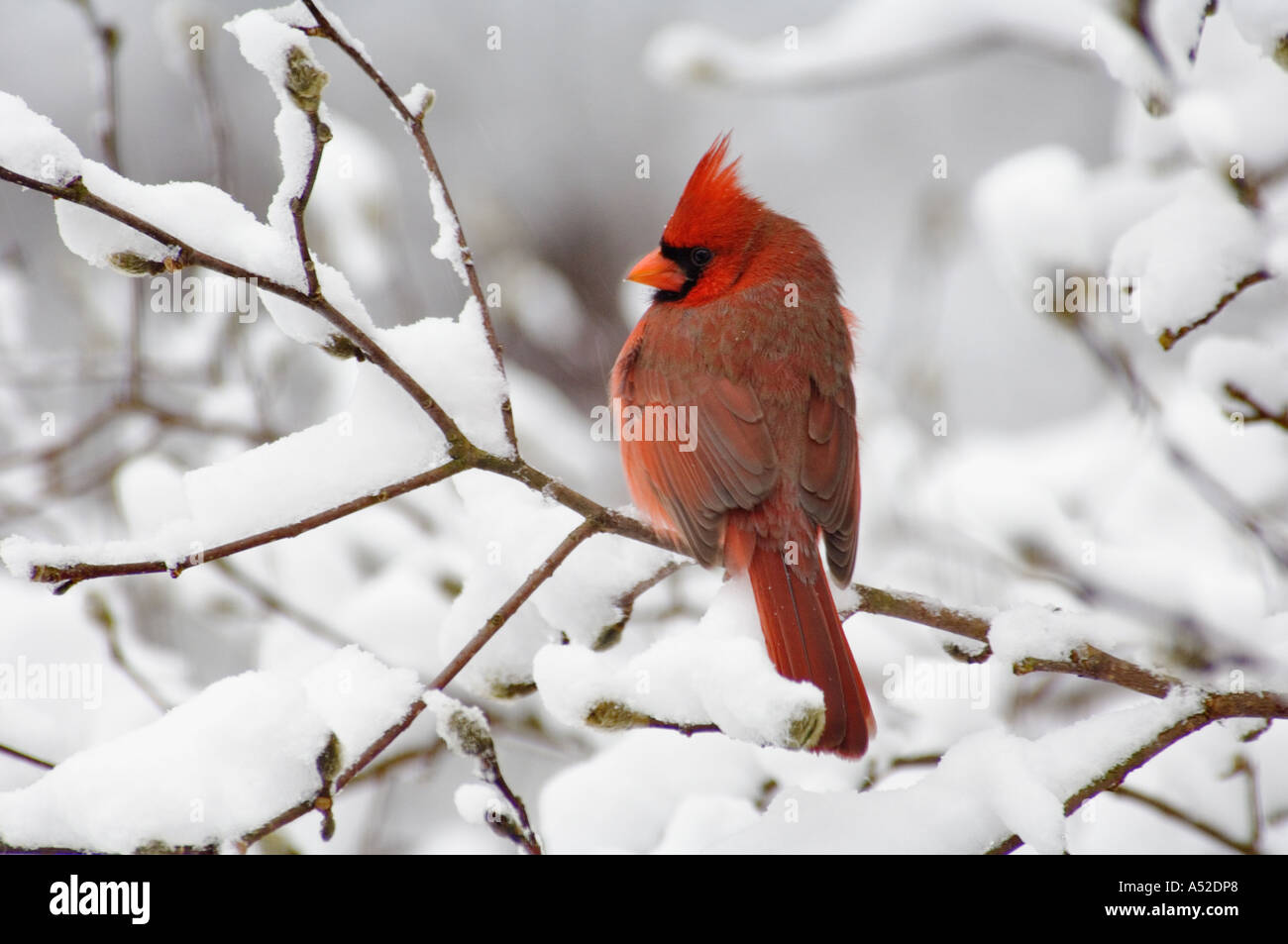 Male Cardinal Cardinalis cardinalis Perched On Snow Covered Branch Of Star Magnolia Tree Floyd County Indiana - Stock Image