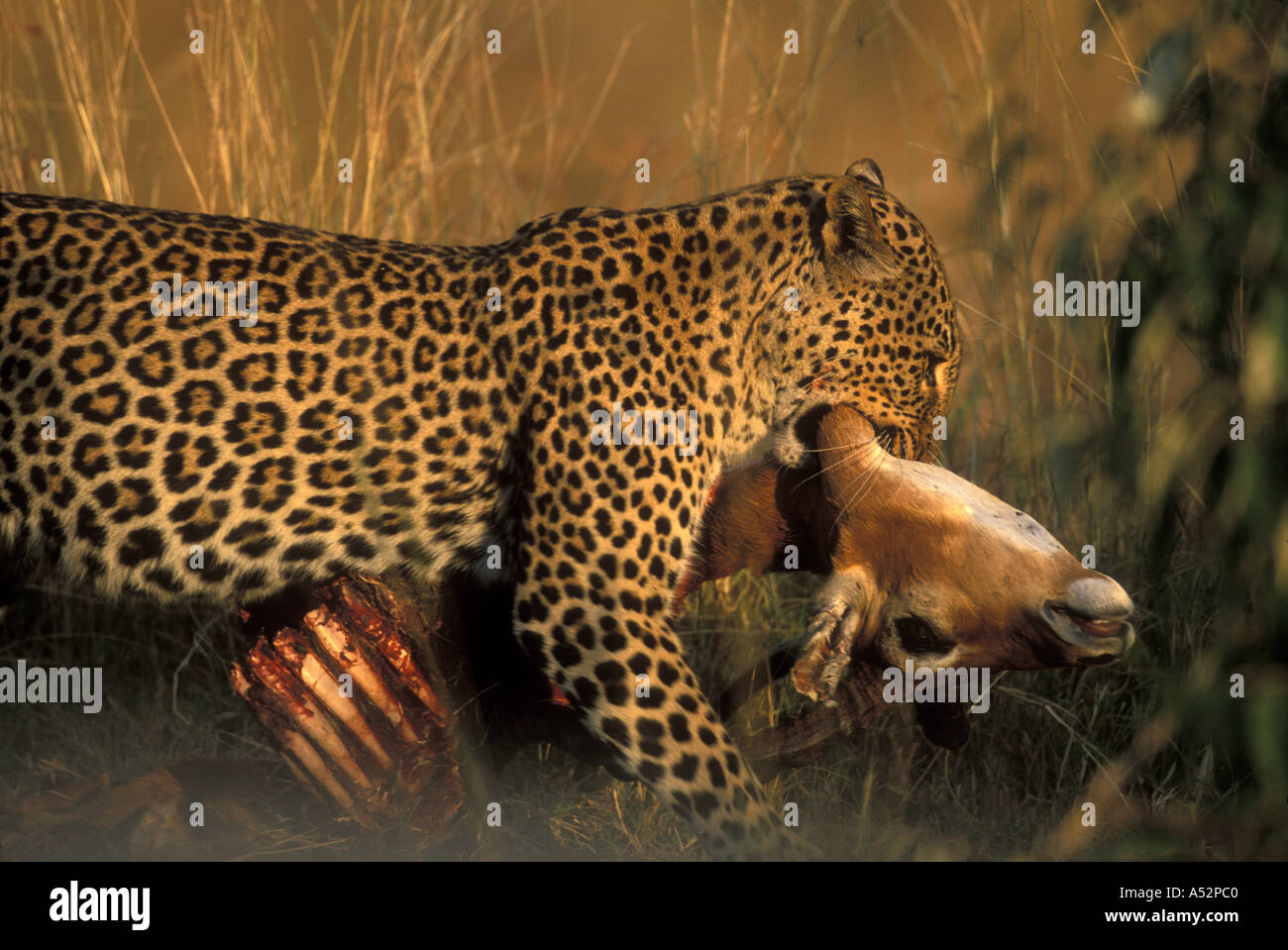 Africa Kenya Masai Mara Game Reserve Adult Female Leopard Panthera pardus carries Impala kill through brush Stock Photo
