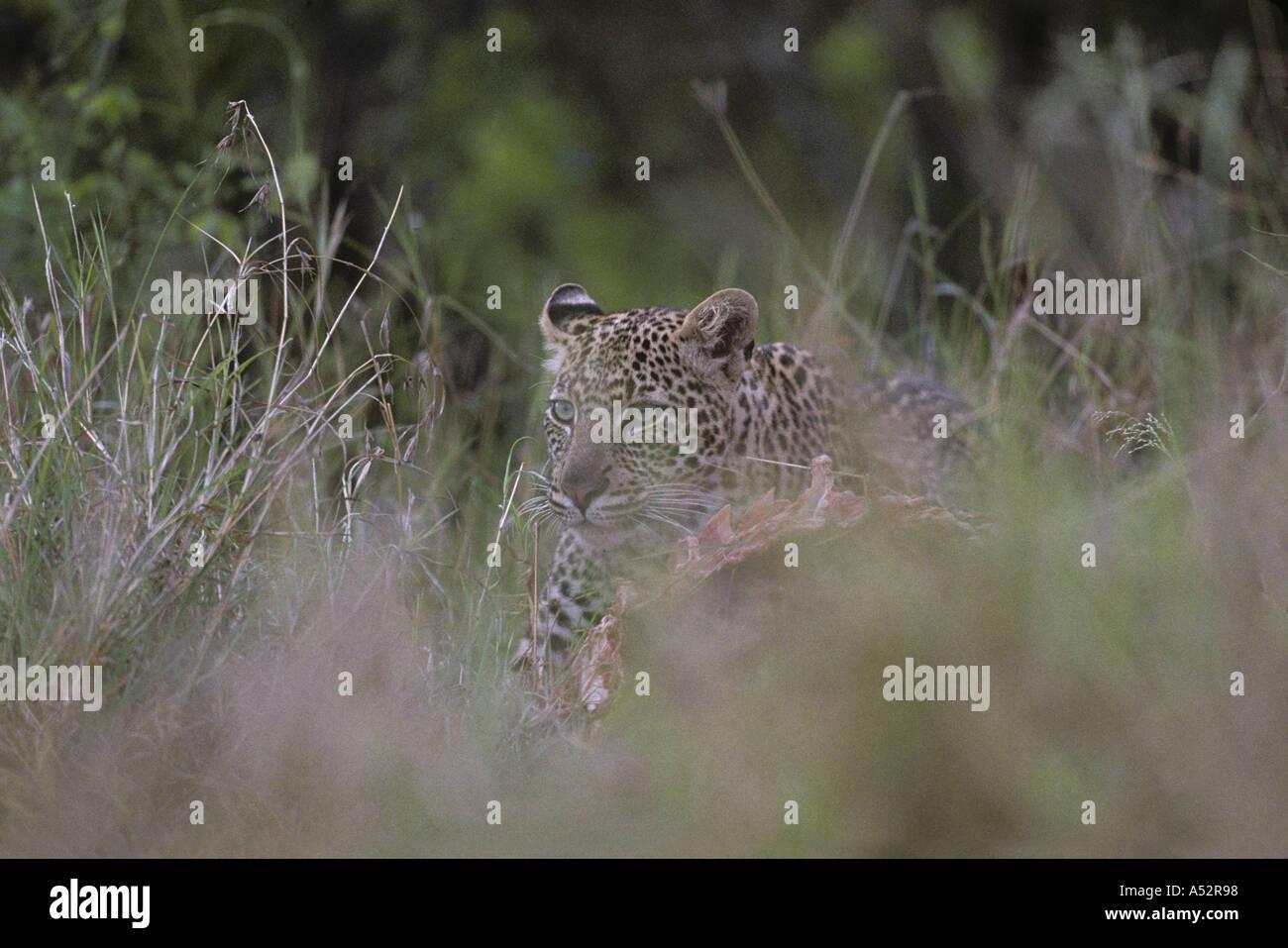 Africa Kenya Masai Mara Game Reserve Adolescent Male Leopard Panthera pardus feeding on Wildebeest kill  Stock Photo