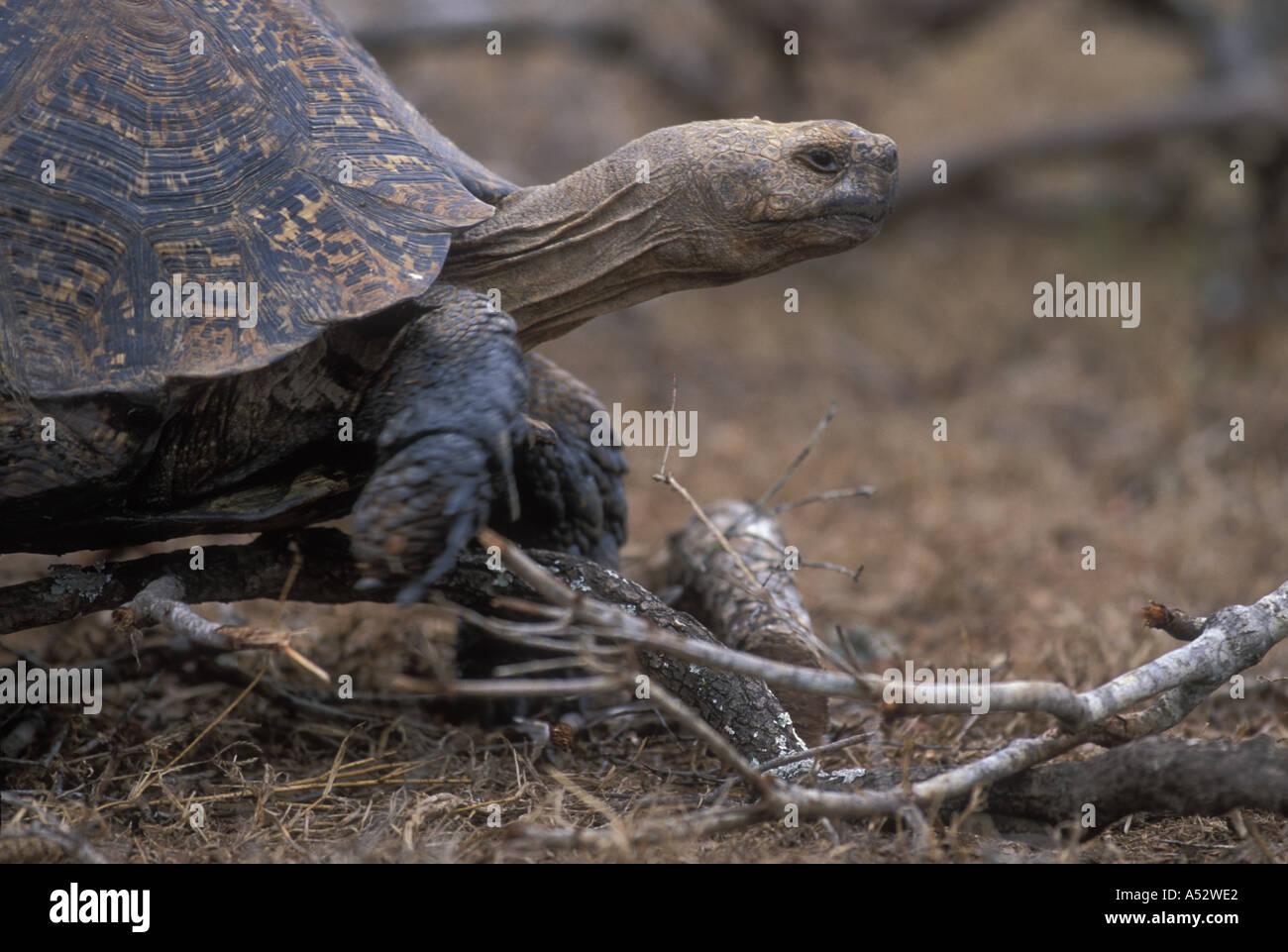 South Africa Addo Elephant National Park Leopard Tortoise Geochelone pardalis slowly walking - Stock Image