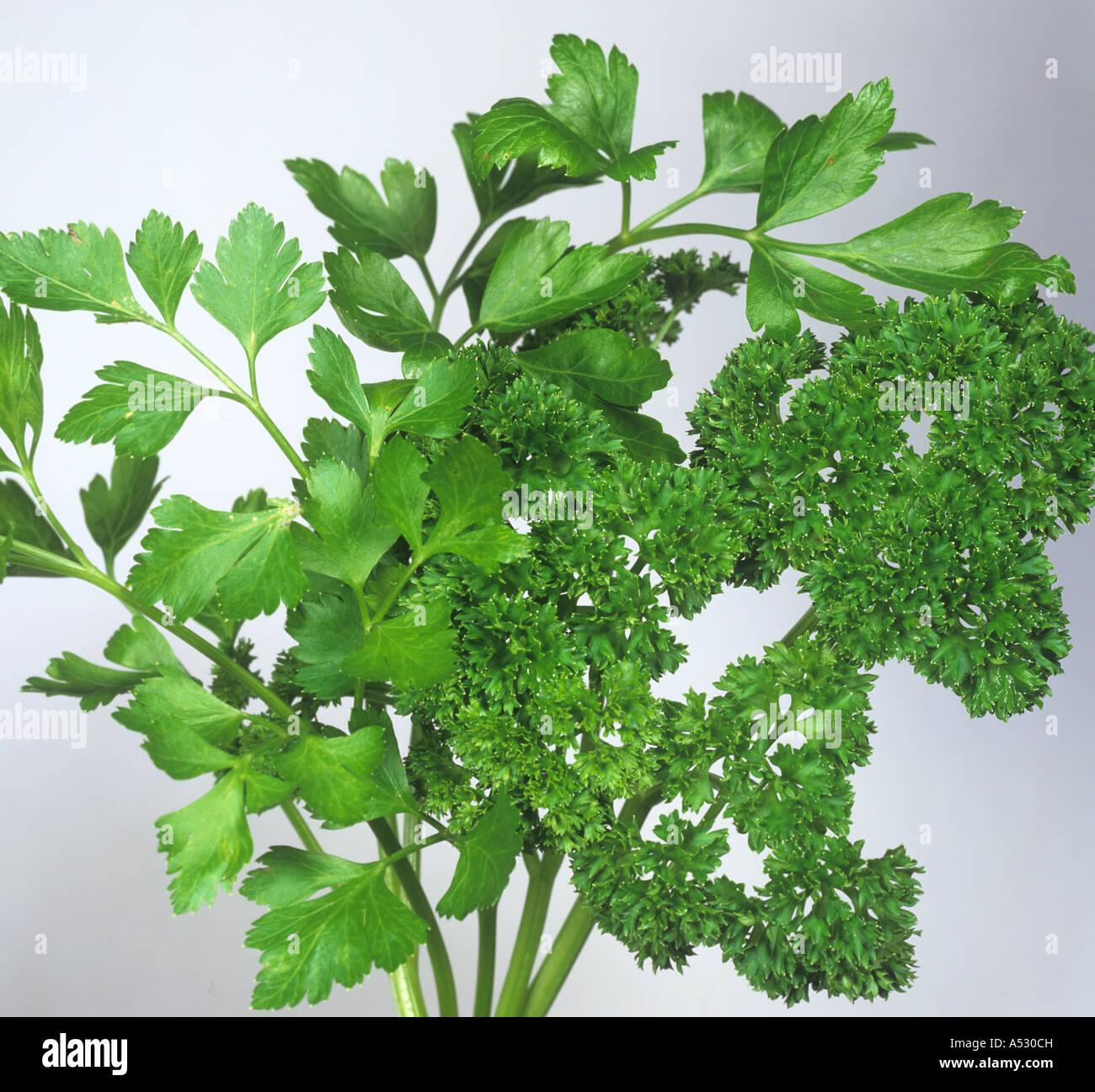 Continental or flat leaved Italian curled parsley leaves Petroselinum crispum - Stock Image