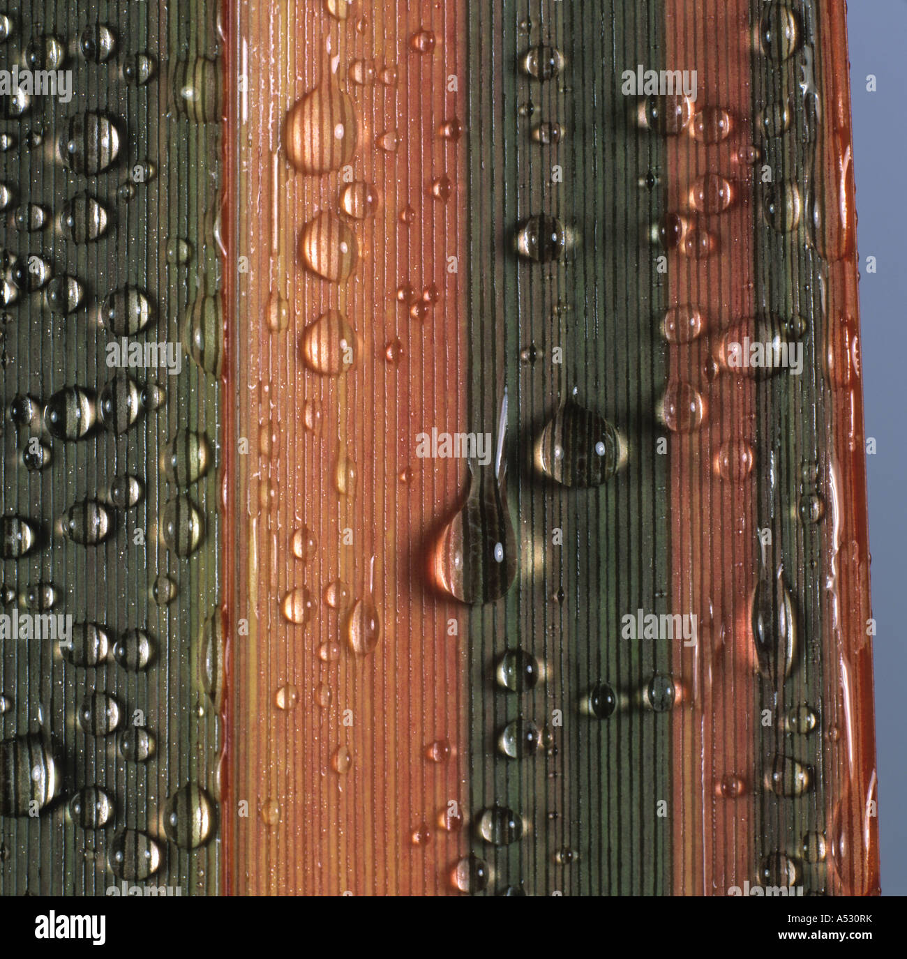 New Zealand flax Phormium Sundowner leaf with water droplets - Stock Image