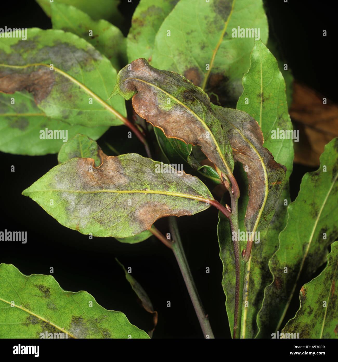 Powdery mildew Oidium lauraceum on sweet bay laurel Laurus nobilis - Stock Image