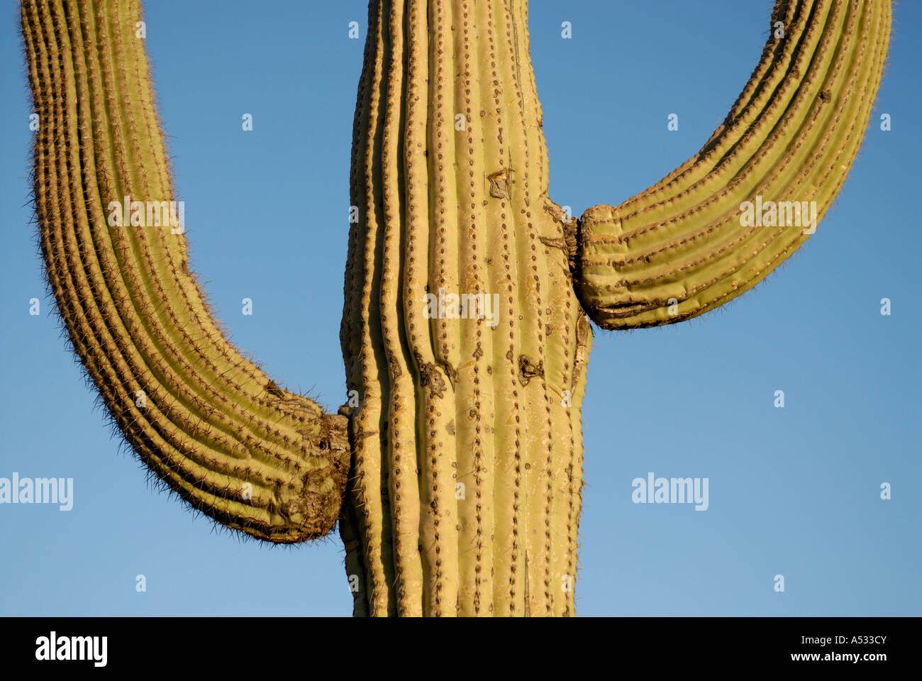 Saguaro Cactus, Carnegiea gigantea, with two arms against blue sky, Sonoran Desert, southwestern USA - Stock Image