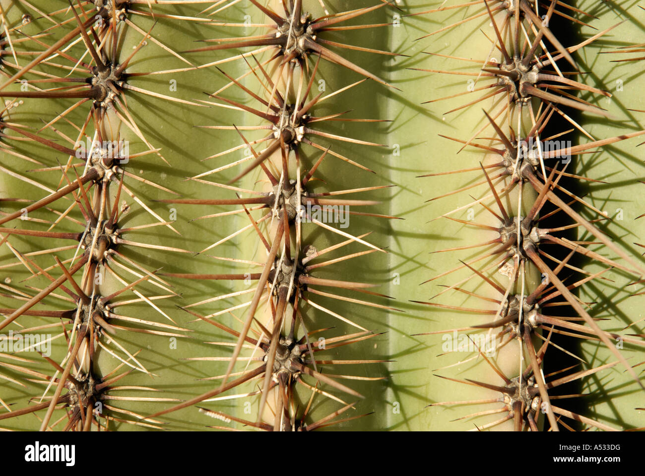 Saguaro Cactus, Carnegiea gigantea, spines thorns on three 3 pleats, close up abstract - Stock Image