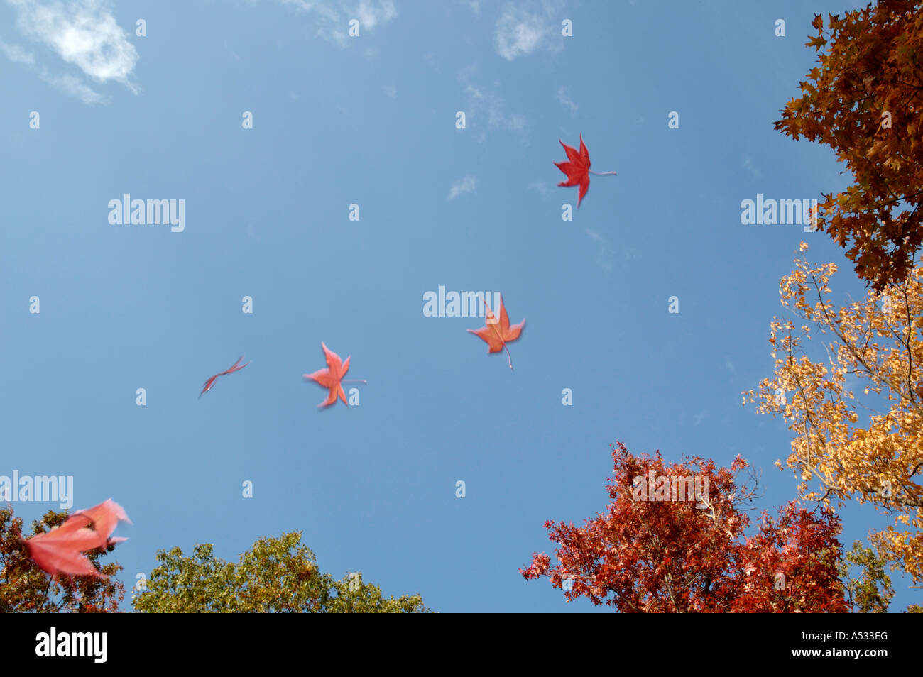 Maple leaves falling against a blue autumn sky - Stock Image