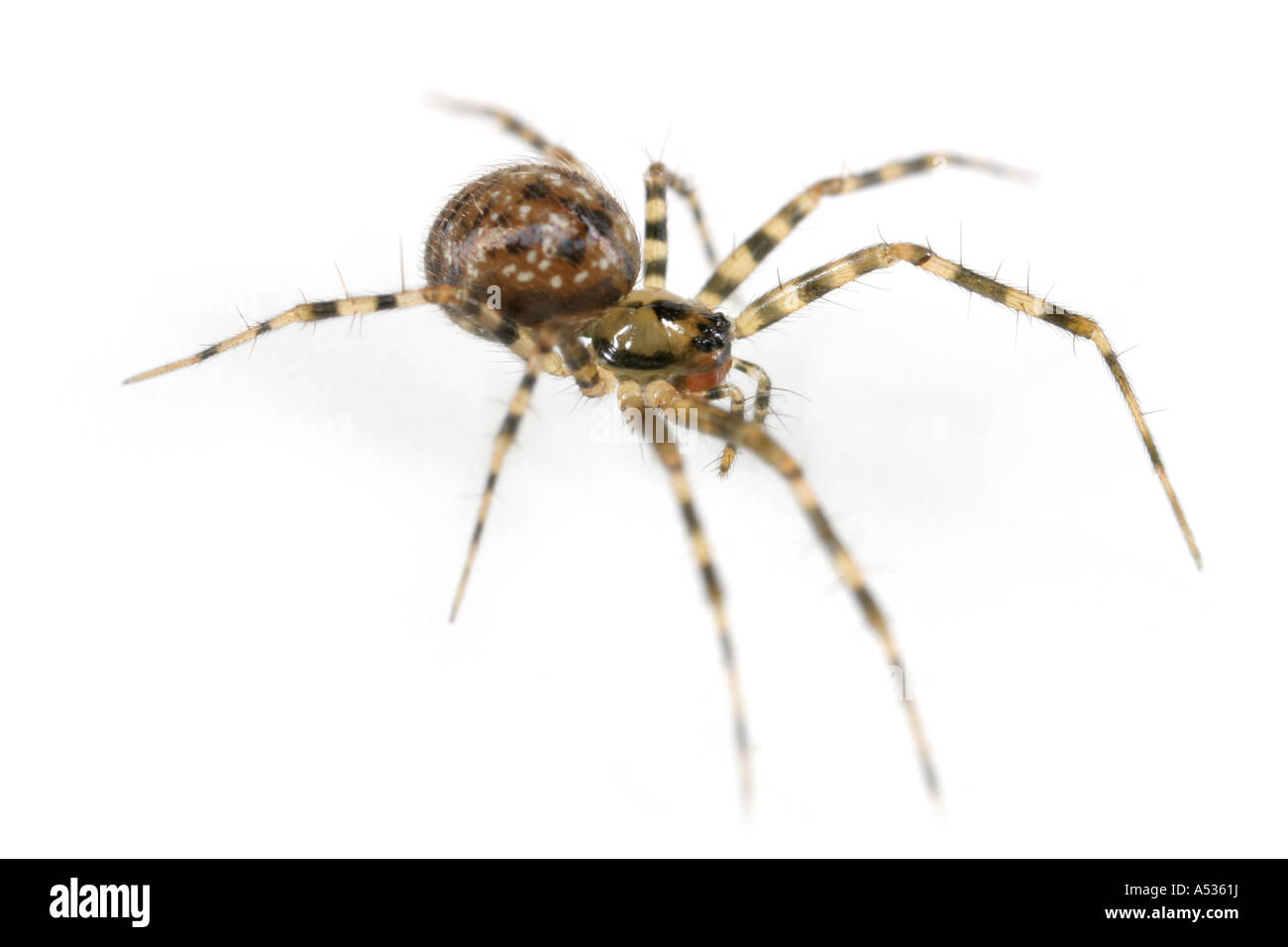 A Labulla thoracica spider, family Linyphiidae, on white background Stock Photo