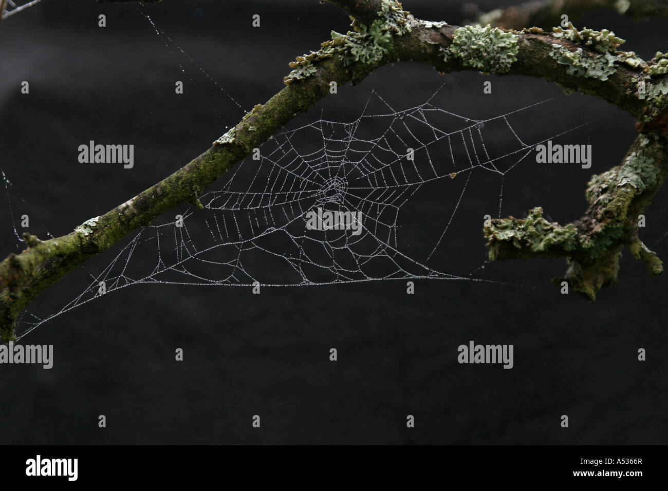 Dew on a spiders web - Stock Image