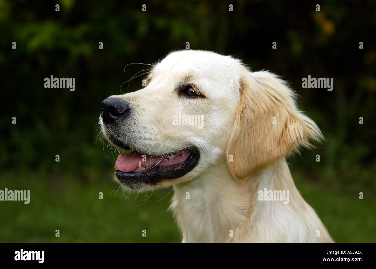 Young Golden Retriever Dog looking left - Stock Image