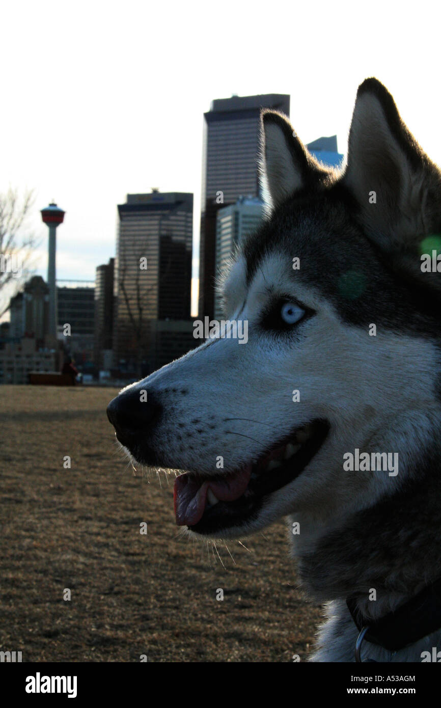 Portrait: Wolfe w/Calgary Cityscape - Stock Image