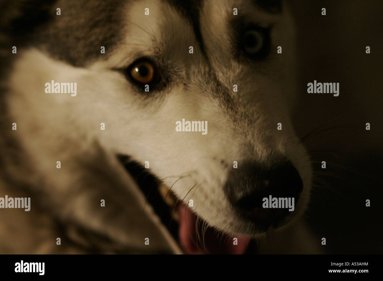 Portrait: Wolfe (siberian husky) - Coughing - Stock Image