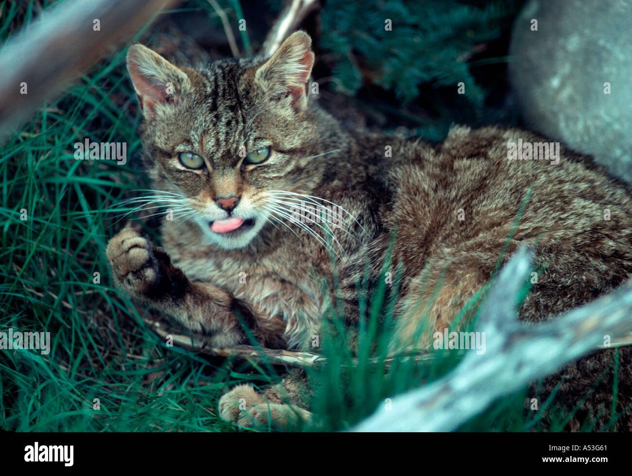 European wild cat Felis sylvestris Highland Wildlife Park Scotland UK Stock Photo