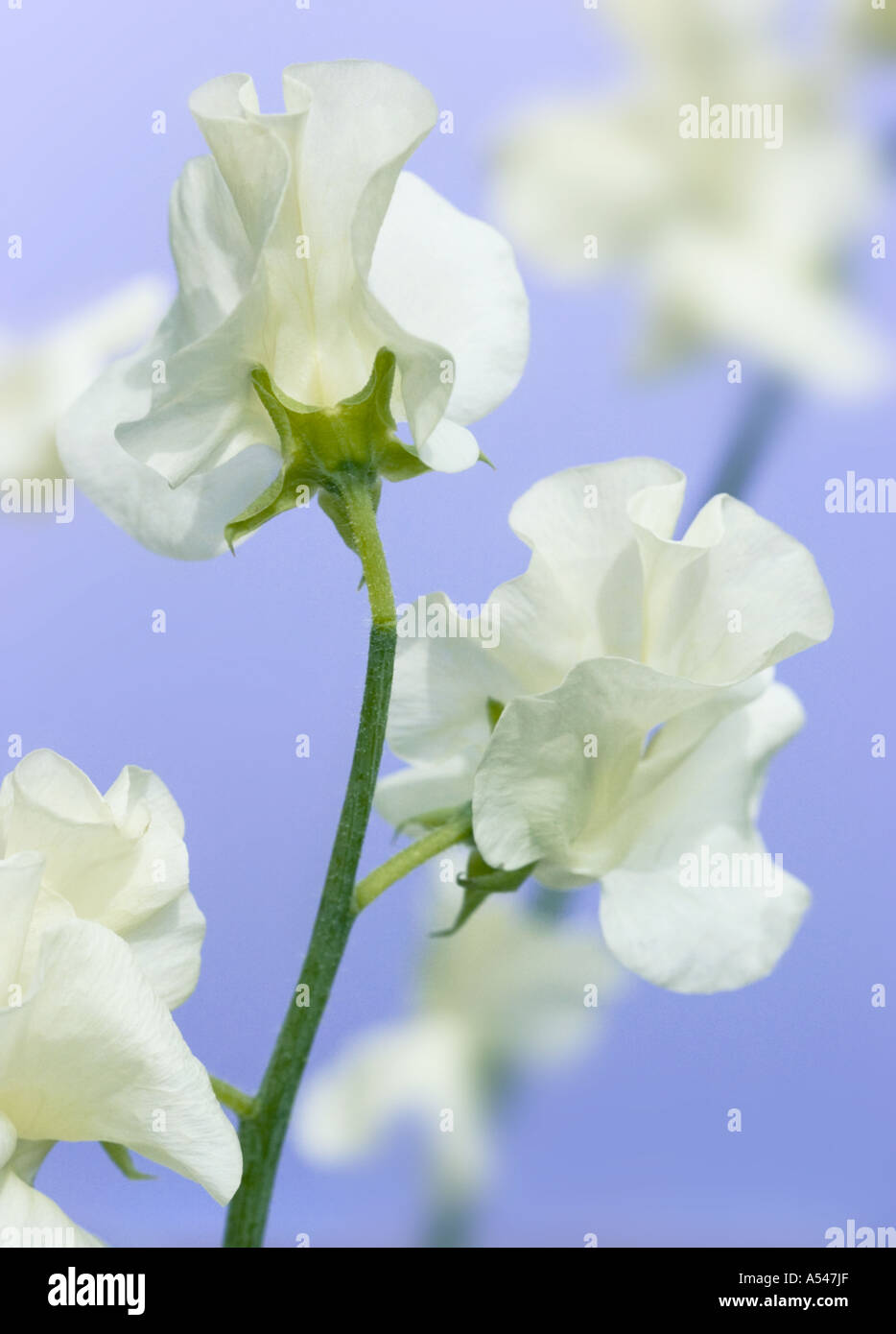 A Close Up Studio Shot Of White Sweet Pea Flowers On Mauve Stock