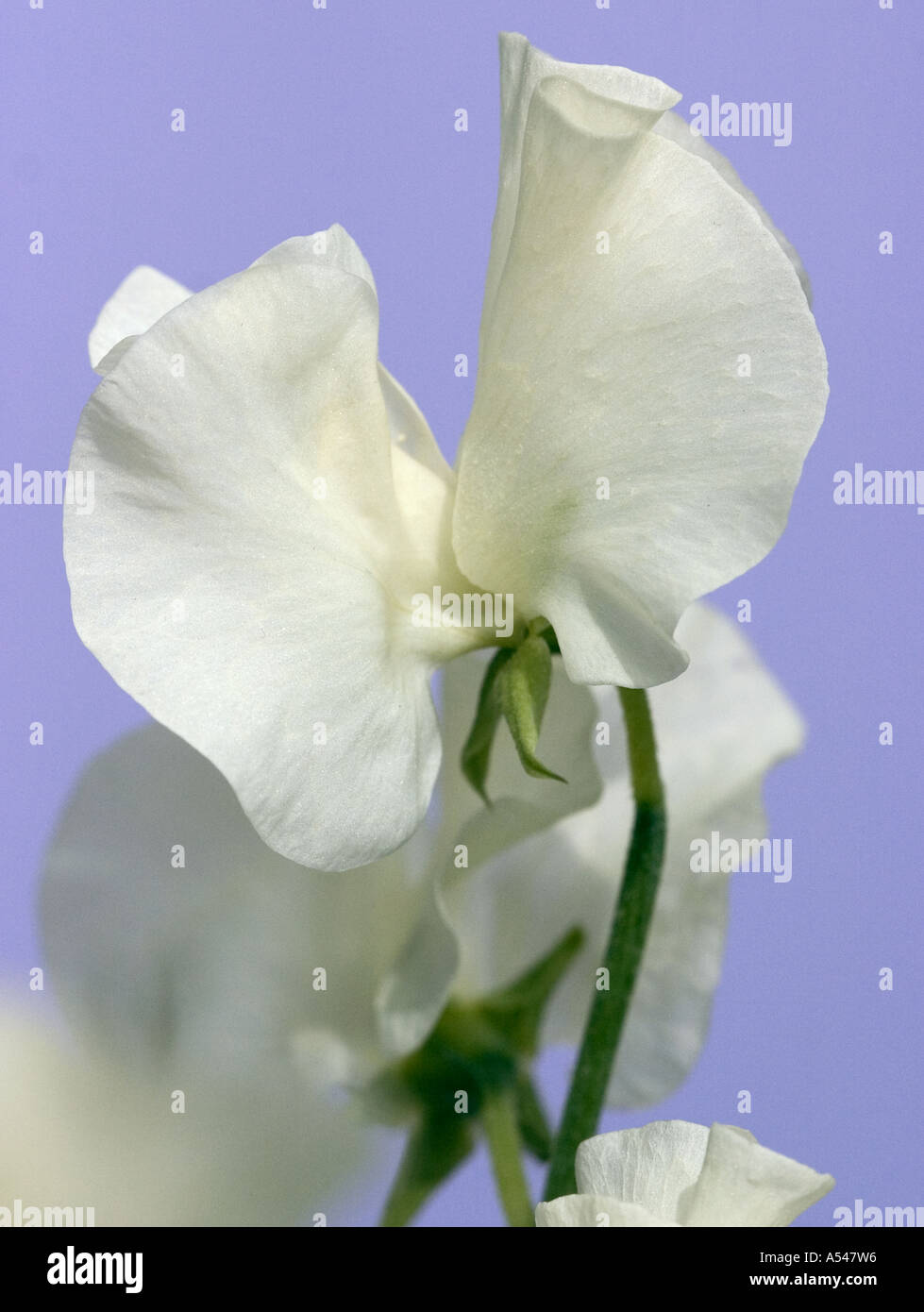 A Close Up Of White Sweet Pea Flowers Stock Photo 6395349 Alamy
