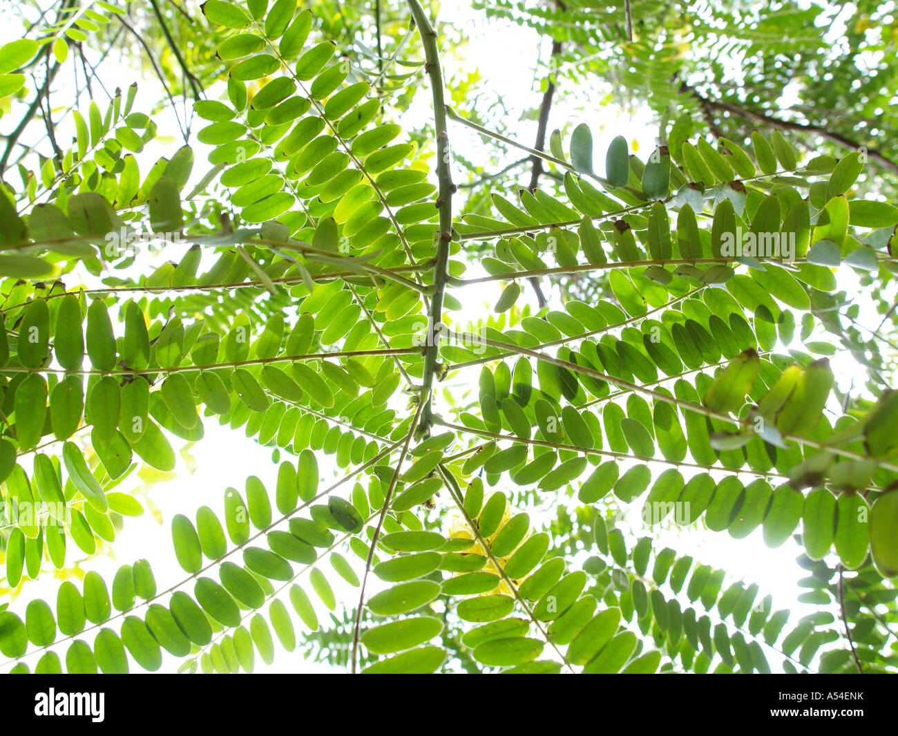 Yellow Jacaranda High Resolution Stock Photography And Images Alamy