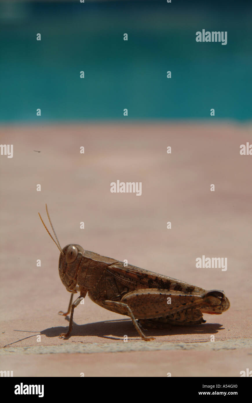 Brown Cricket Grasshopper by the pool in Spain 2005 Stock Photo