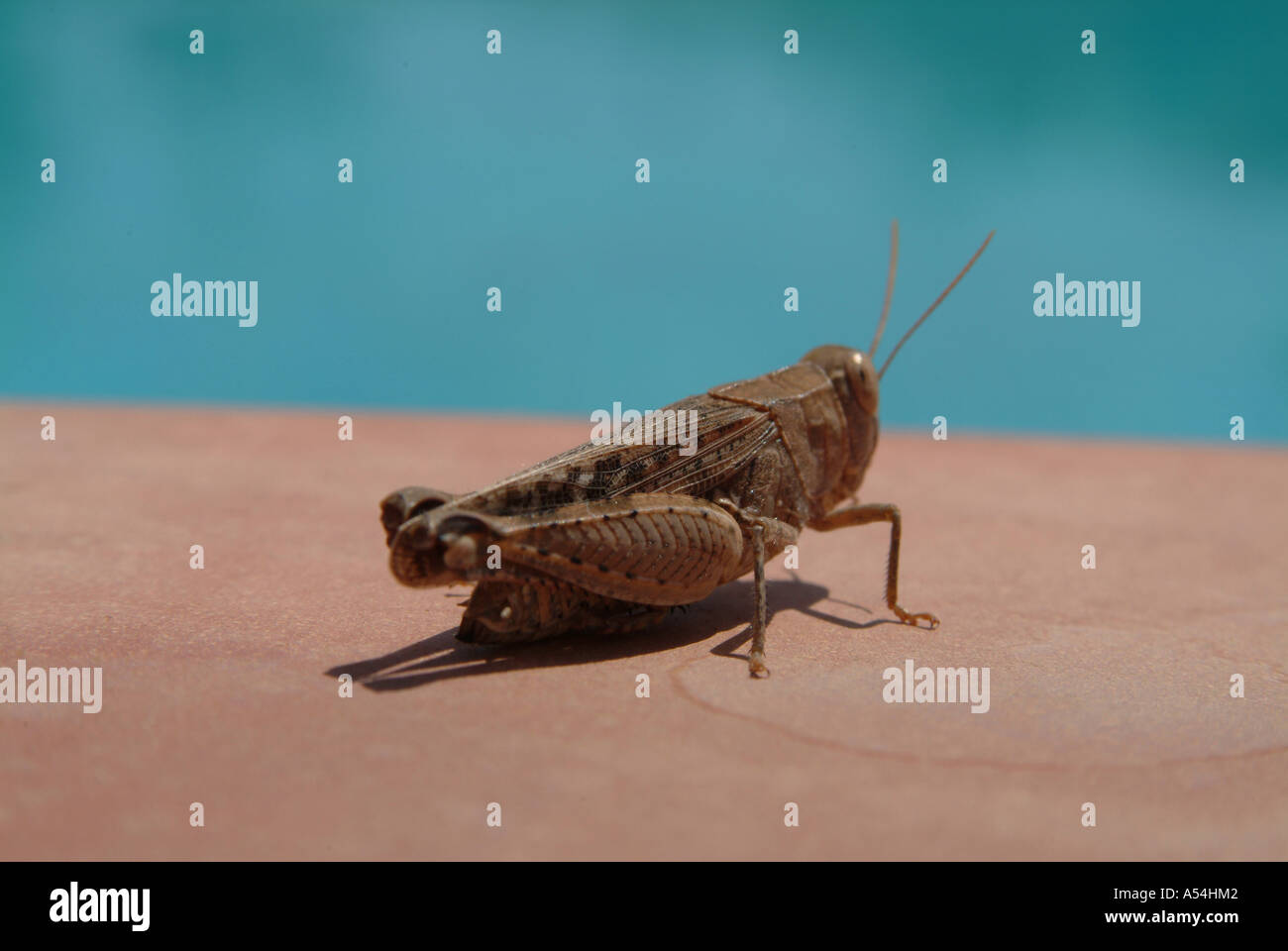 Brown Cricket Grasshopper in Spain 2005 Stock Photo